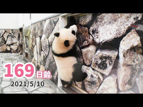 【パンダの赤ちゃん(楓浜)】お母さんまだかな?(169日齢)