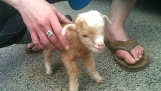 Cute Baby Goats - A Cute And Funny Baby Goats Compilation || NEW High Quality Mp3