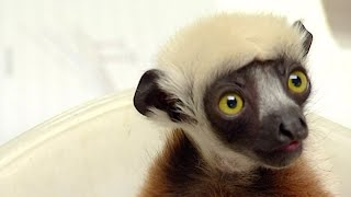 Caring For A Sickly Baby Lemur | Nature's Miracle Babies | BBC Earth