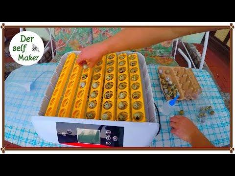 Eier ausbrüten/ Wachteleier ausbrüten/ Eier mit der Brutmaschine ausbrüten