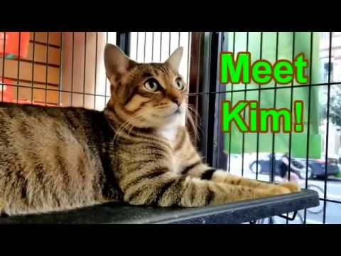 Kim, an adopted Domestic Short Hair in South Ozone Park, NY