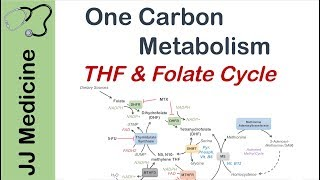 One Carbon Metabolism | Tetrahydrofolate And The Folate Cycle