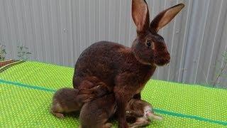 Кролик - Бельгийский заяц. Окролы, рост крольчат