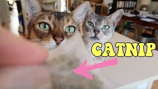 Why do cats like catnip? | CUTE CAT CLEO