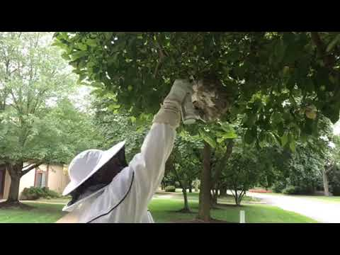 """Here is a video demonstrating how we """"disable"""" and remove a large baldfaced hornet nest in Plainsboro, NJ. These are strong, aggressive, territorial wasps whose stingers can puncture thick clothing. They are a type of yellow jacket and are identified by their white markings on their head an abdomen. While yellow jackets typically build nests in underground burrows, tree cavities, or behind home siding, these wasps build large nests. As you can see in the video, they often attach their nests to tree limbs. Unfortunately, this one was built too close to pedestrian traffic and needed to be removed. When dealing with an active baldfaced hornet nest, I always put on a full body suit and face protector. These wasps get particularly nasty if their nest is threatened, and a mature nest can have hundreds of workers ready to protect their nest at a moment's notice. Even wearing all of this protective gear does not make you completely immune to being stung. If there is a small hole or some weak stitching a wasp or two can find their way in. As shown in the video, the first step in removing one of these nests, is thoroughly spraying the entire nest with a knock-down aerosol. These nests are complex structures with rows of combs inside a tough outer shell, and it is important to completely saturate the nest. Also, I thoroughly spray into their entry and exit hole at the bottom of the nest. After spraying the nest, I wait until I observe no more activity — and then I spray a bit more for good measure! Even pest control technicians don't like to be stung, and even though we are used to it, they still pack a wallop. Once there is no wasp activity, I'll cut the nest off the tree limb, bag it, and remove it. Even with all this spraying their can still be live wasps inside the nest."""