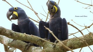 Hyacinth Macaw couple  Rest in the heat of the afternoon, Anodorhynchus hyacinthinus, Arara Azul,