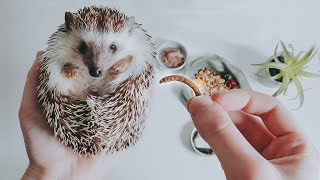 What SHOULD You Be Feeding Your Hedgehog?