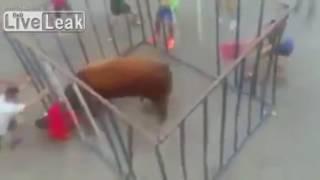 Смотреть онлайн Бешеный бык кидается на людей