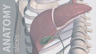 Referred Pain: Gallbladder | Anatomy Slices
