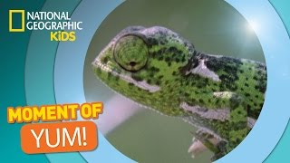 Chameleons Snatch Bugs | The Secret Life Of Animals