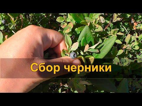 🍇 СБОР ЧЕРНИКИ, черничный чай