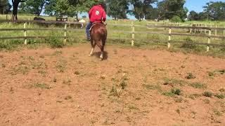 Equídeo Equino Quarto de Milha Registrado Cavalo Alazã - e-rural Imagens