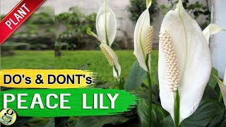 PEACE LILY   Air Purifier Plant Care Tips, Propagation Repot And Mistakes