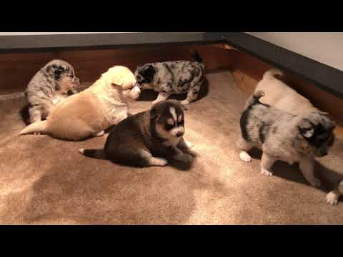 Jojo's Pomsky Puppies  --  first video