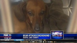 Dachshund Fends Off Bear To Protect Owner And Her Son
