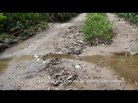 クモガタシロチョウの集団吸水
