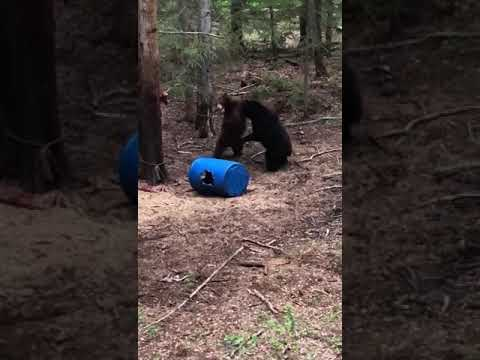 Hunter Finds Himself in the Middle of an Epic Bear Fight While Hunting