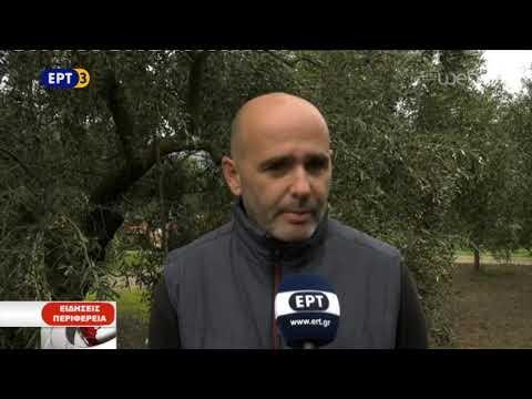 Ο Δάκος καταστέφει την ελαιοπαραγωγή στην Κυνουρία  | 06/12/2018 | ΕΡΤ