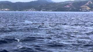 Dominica Whale Watching - Emerald Princess Caribbean Cruise (Day 5)