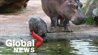 France's only baby hippopotamus takes first dip in the deep end