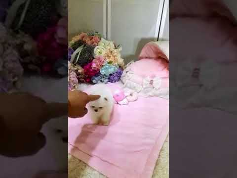 Sprinkles White Pomeranian