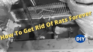 How To Get Rid Of Rats Forever and Protect Your House From Roof Rats coming back.