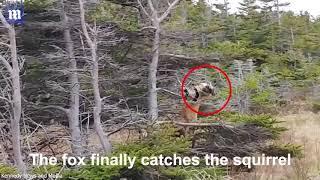 DEITA.RU Лисица залезла на дерево во время охоты