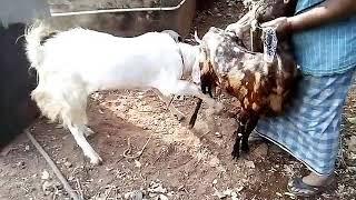 ബ്രീഡിംഗ് മേനാച്ചേരി ആട് ഫാം ലാലൂർ തൃശ്ശൂർ പോൾ 9544539090