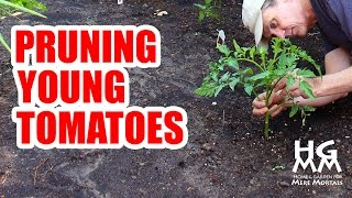 How to Prune Young Tomato Plants