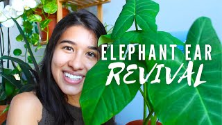 BRINGING MY ELEPHANT EAR PLANT BACK TO LIFE 🐘 | My Colocasia Houseplant Journey