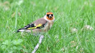 2020-05-11 European Goldfinch
