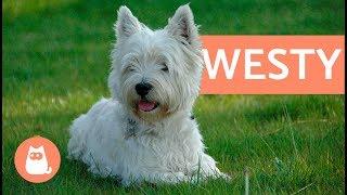 Raza de perro westy - west highland white terrier