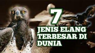 Download 420+ Foto Gambar Burung Elang Terbesar  Paling Bagus Free