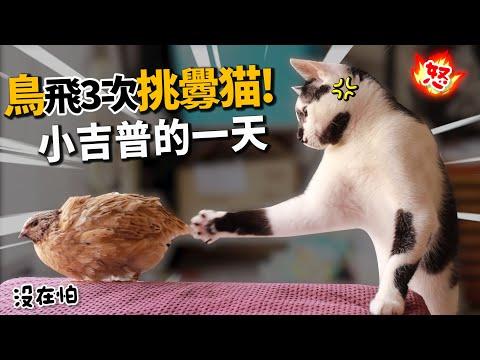 貓鳥大對決 誰勝出呢?