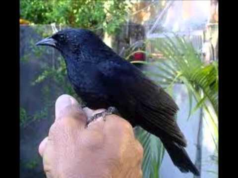 Música Canta Pássaro Preto