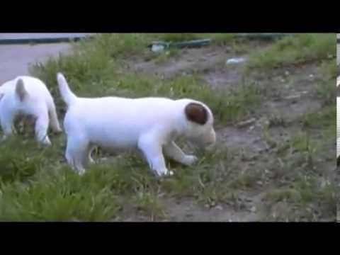 QUALITY SHOW PARSON RUSSELL TERRIER Male