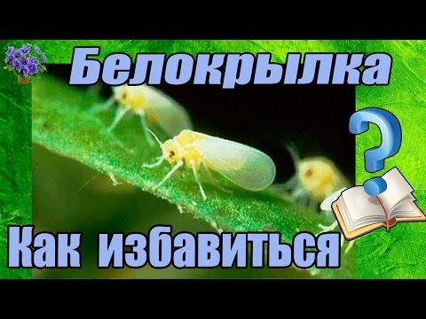 Лимоны для чистки от паразитов