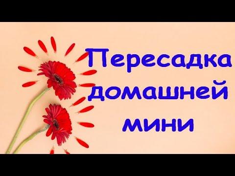 ПЕРЕСАДКА домашней ОРХИДЕИ мини+СОСТОЯНИЕ через МЕСЯЦ и 4 дня.