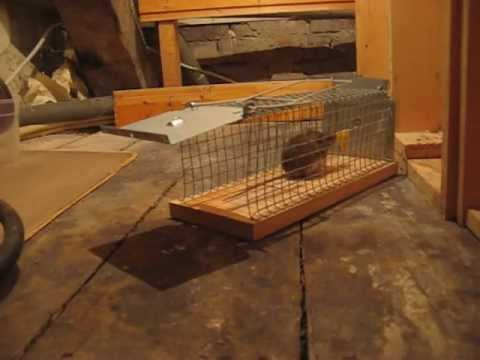 Maus mit Lebendfalle gefangen / Mouse caught in live trap