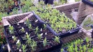 Butterfly Milkweed Tuberosa propagation