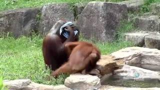 Orangutan Uses Towel To Cool Off Explained