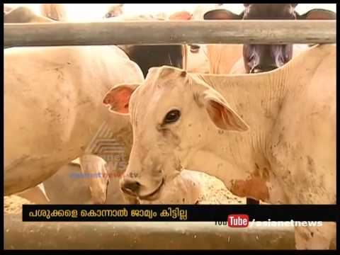 Cow slaughter to be punishable by life sentence in Gujarat