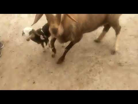 Dumba Goat