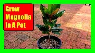 How To Grow Magnolia Trees In Pots: Potted Magnolia Tree Care Tips