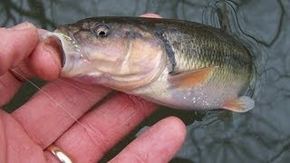 How to catch Creek Chubs for Fishing Bait