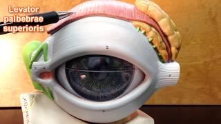 The Eye Model