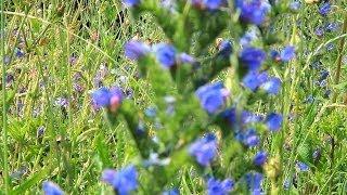 Спокойная мелодия и синие полевые цветы ● Elegant Melody and Blue Wildflowers
