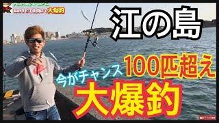江ノ島100匹超えの大爆釣!初心者でも釣れる堤防江の島大堤防
