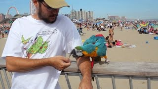 Parrot Learns to Step Up for Me - Rachel Blue and Gold Macaw