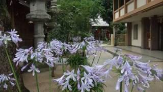 ♪「グリーンスリーブス」山形由美アガパンサスの花々と共に